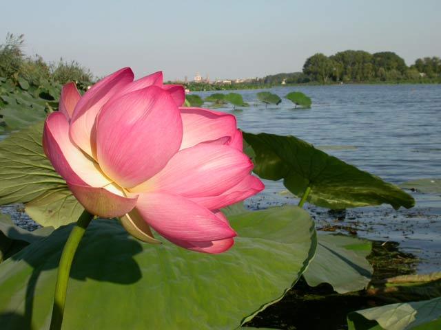 I barcaioli del mincio fior di loto for Disegni del mazzo del secondo piano